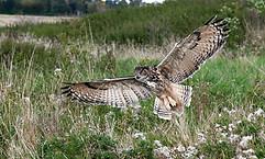 Owl approaching landing
