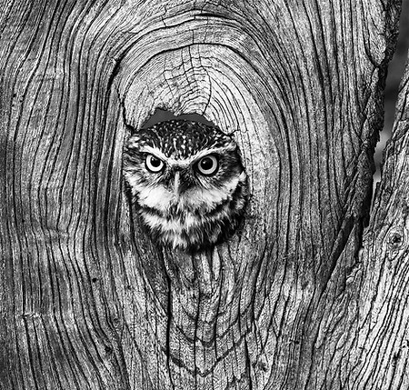 Owl looking out of hole in tree