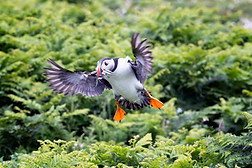 Puffin landing with sandeels