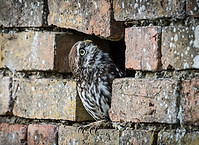 Owl with brick above head