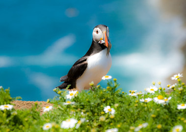 Puffin on edge of cliff with sandeels