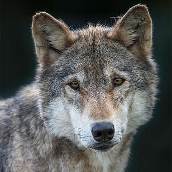 Wolf staring