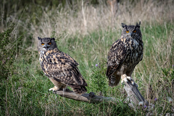 Sitting pair of Eagle owls