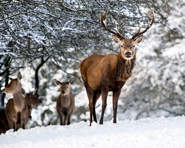 Red Stag with females in the background