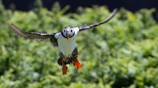 Puffin on landing approach