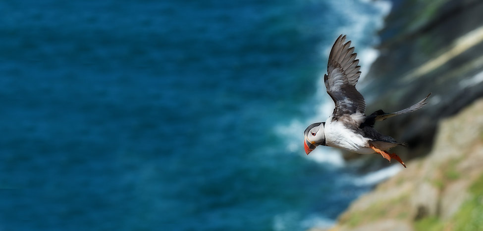 Puffin in flight Extended.jpg
