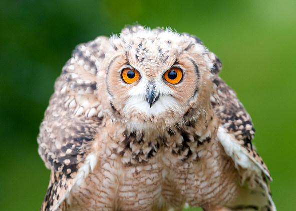 Owl with piercing eyes
