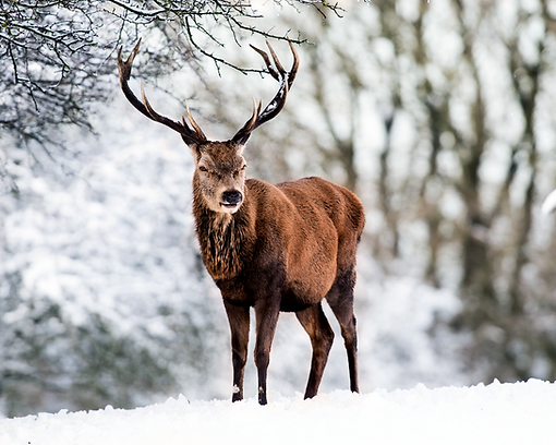 Magestic red stag in the snow