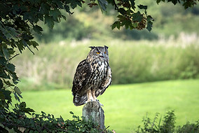 Eagle owl on gate post