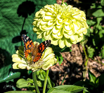 0000288  Painted Lady Butterfly on a ZIn