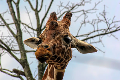 0000135 Giraffe at Knoxville Zoo 2.jpg