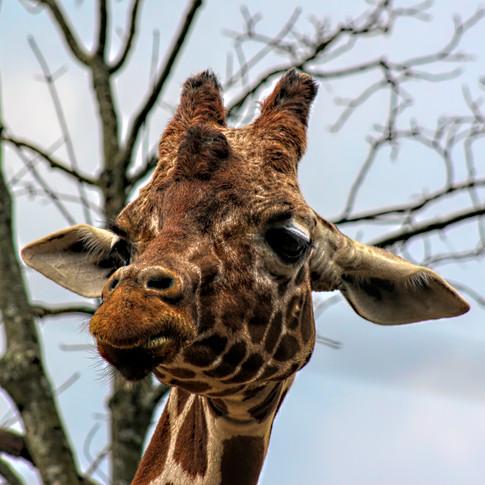 0000135 Giraffe at Knoxville Zoo 2.jpg