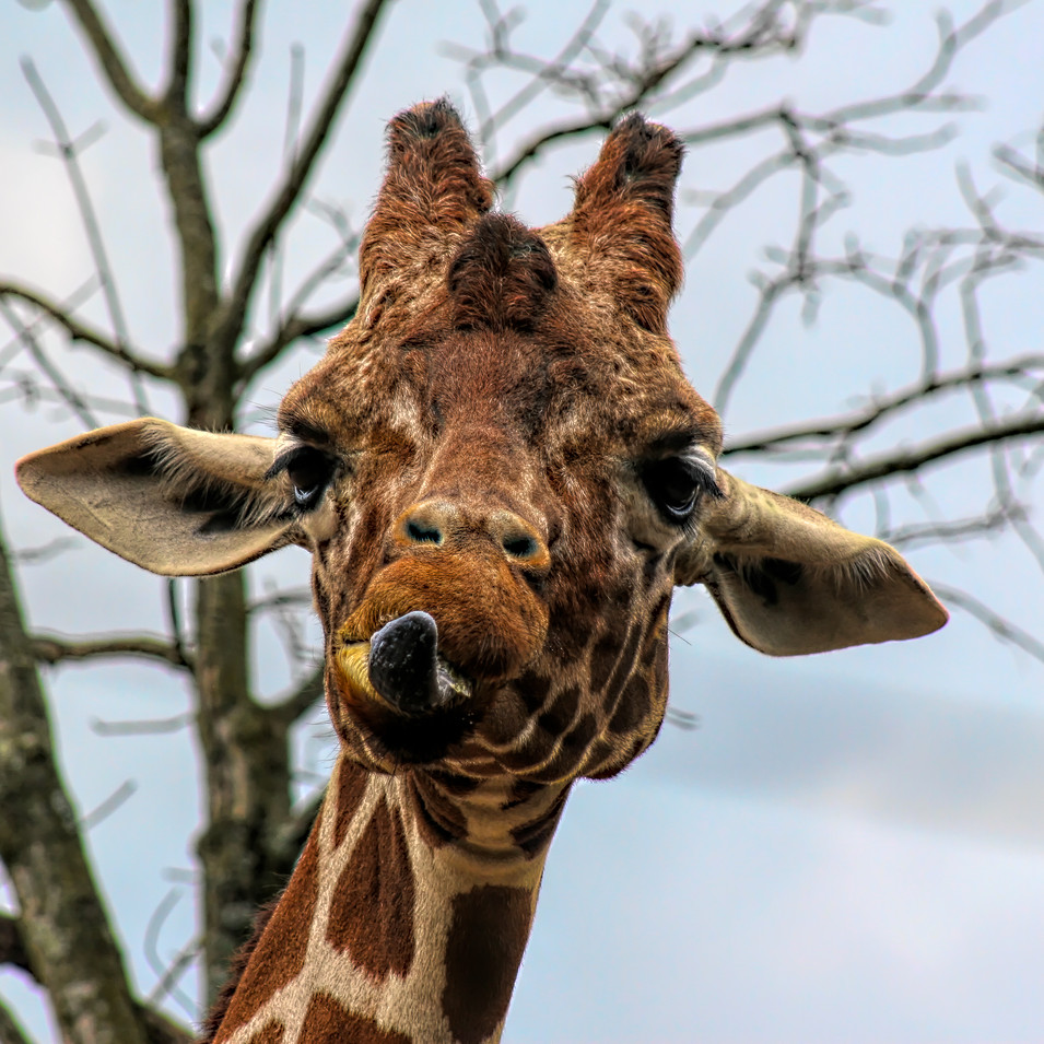 0000138 Giraffe at Knoxville Zoo 1.jpg