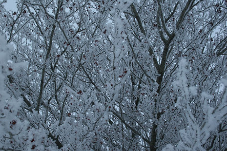Hoar Frost on Hawthorn Tree 299.JPG