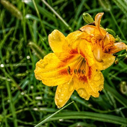 0000317 Day Lily 1.jpg