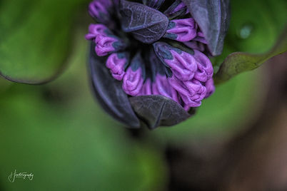 0000117 Allerton Park Purple Flower.jpg