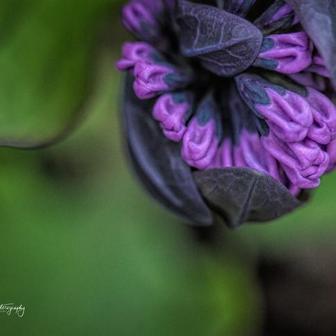 0000117 Allerton Park Purple Flower.jpg