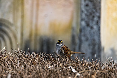 0000316 White Throated Sparrow.jpg