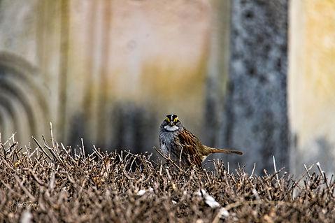 0000316 White Throated Sparrow.jpg