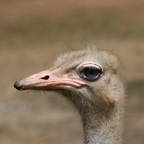 0000146 Ostrich at Knoxville Zoo 2.jpg