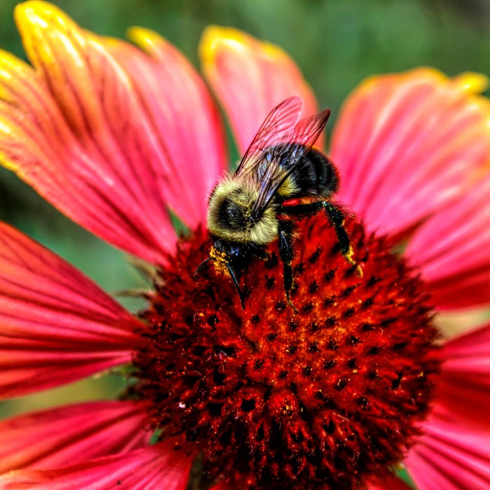 0000242 Bumblebee on Zinnia.jpg