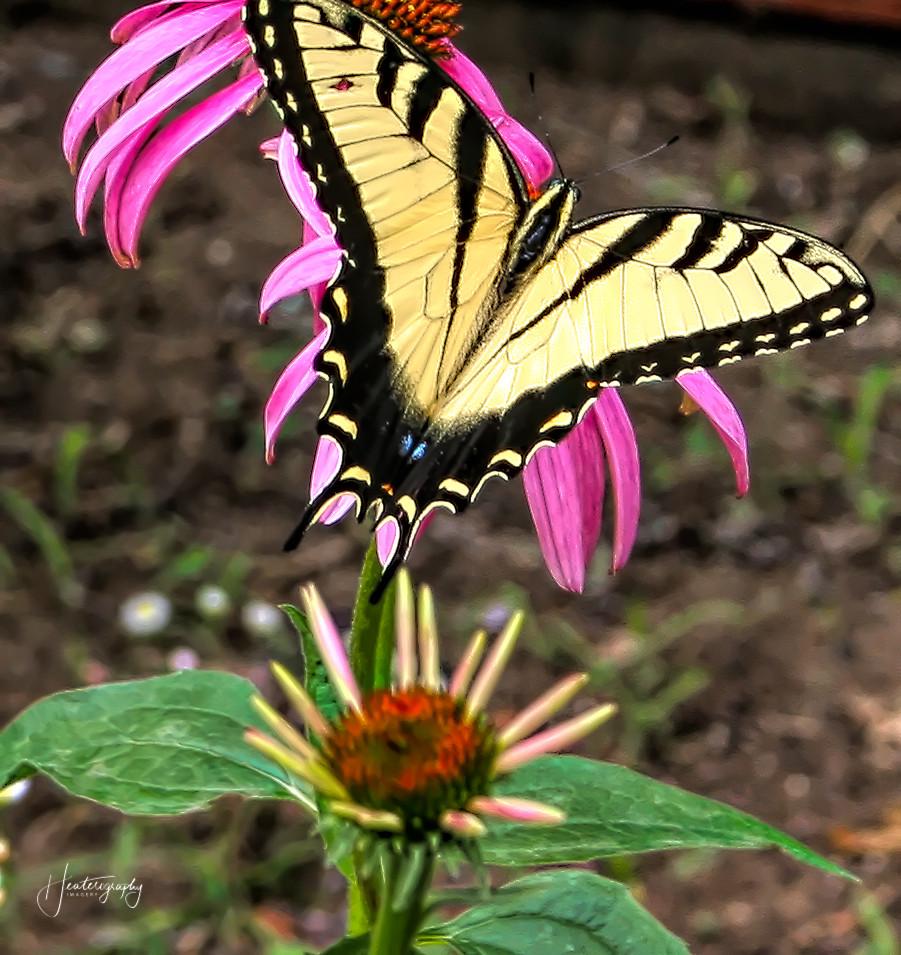 0000182 Tiger Swallowtail.jpg