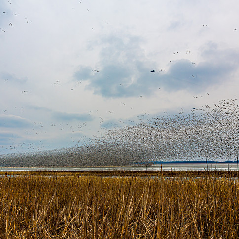 C130 vs 125 Thousand Snow Geese 308.jpg