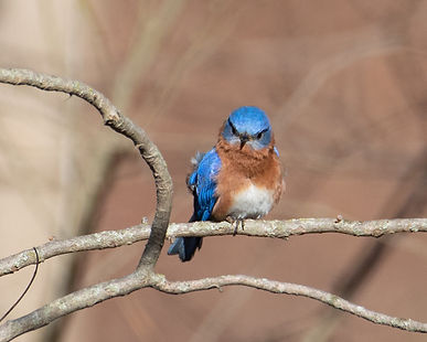 Angry Bluebird at Busey Woods 310.JPG