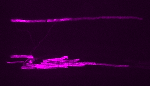 Hines lab oligodendrocyte in zebrafish spinal cord