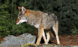 Le Coyote 3