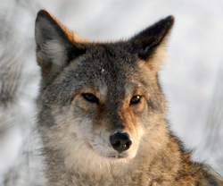 Le Coyote 4