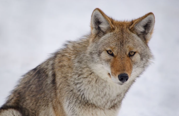 Le Coyote 2