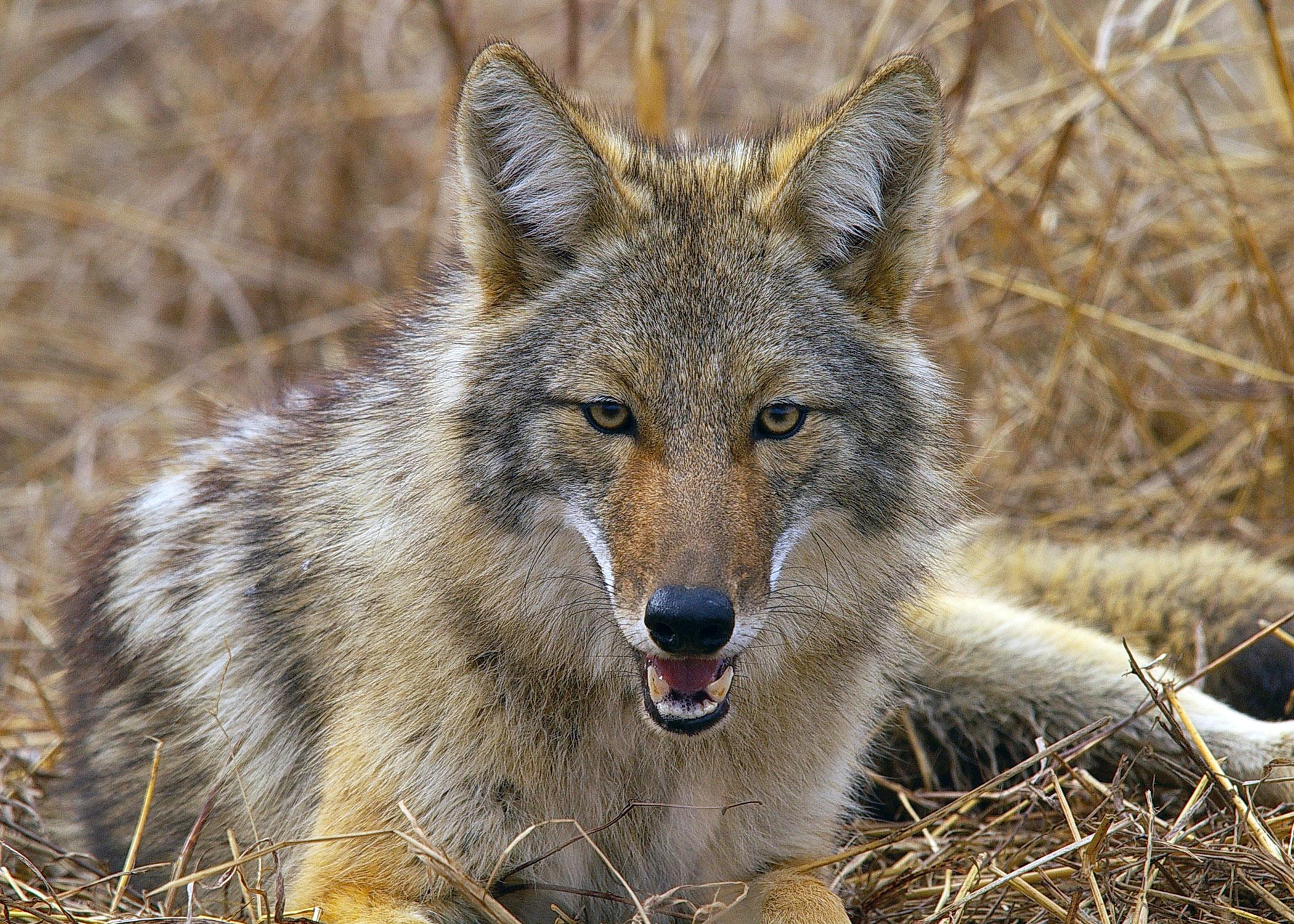 Le Coyote 1