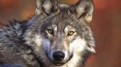 Le Loup 2
