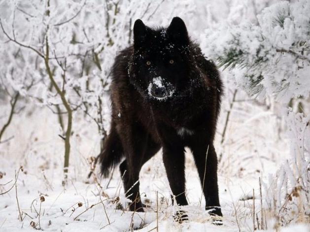 Le Loup 3