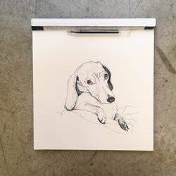 Canuto the sausage dog