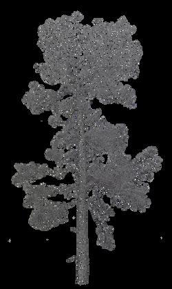 Pine tree Canary Islands by Cri Cri Studio