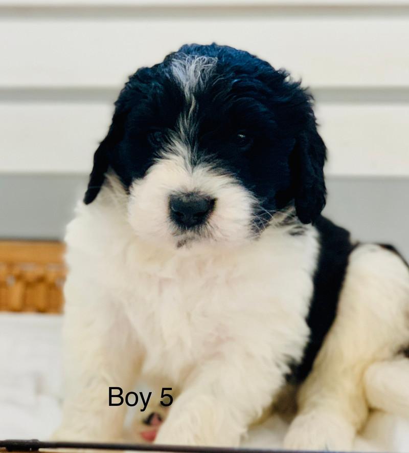 Newfoundlander|Newfypoos|Poodle