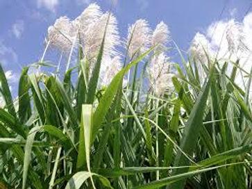 suikerriet.jpg