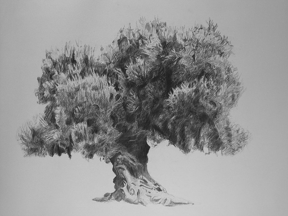 olive tree - Tree Drawings