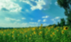 yellow-sunflower-field-under-blue-and-wh