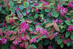 Razzleberry Bush