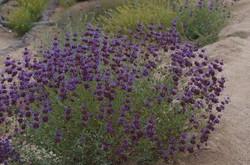 Salvia Poza