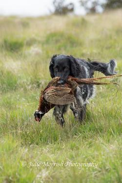Pheasant retrieve