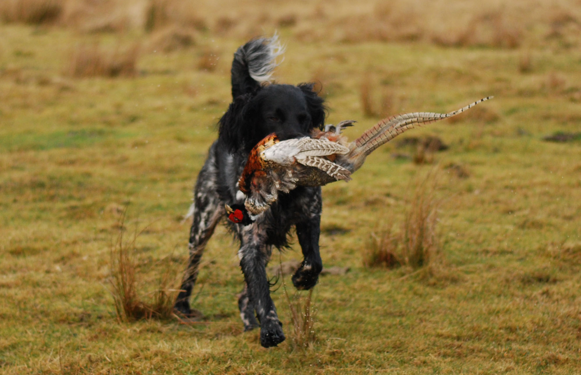 Retrieve Pheasant