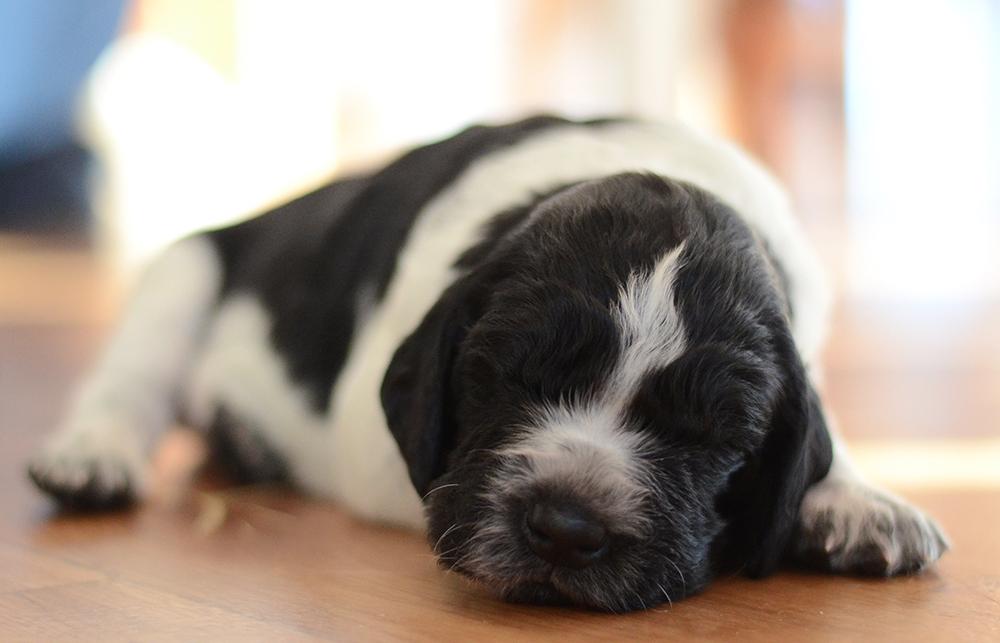 Bolt (Dog)
