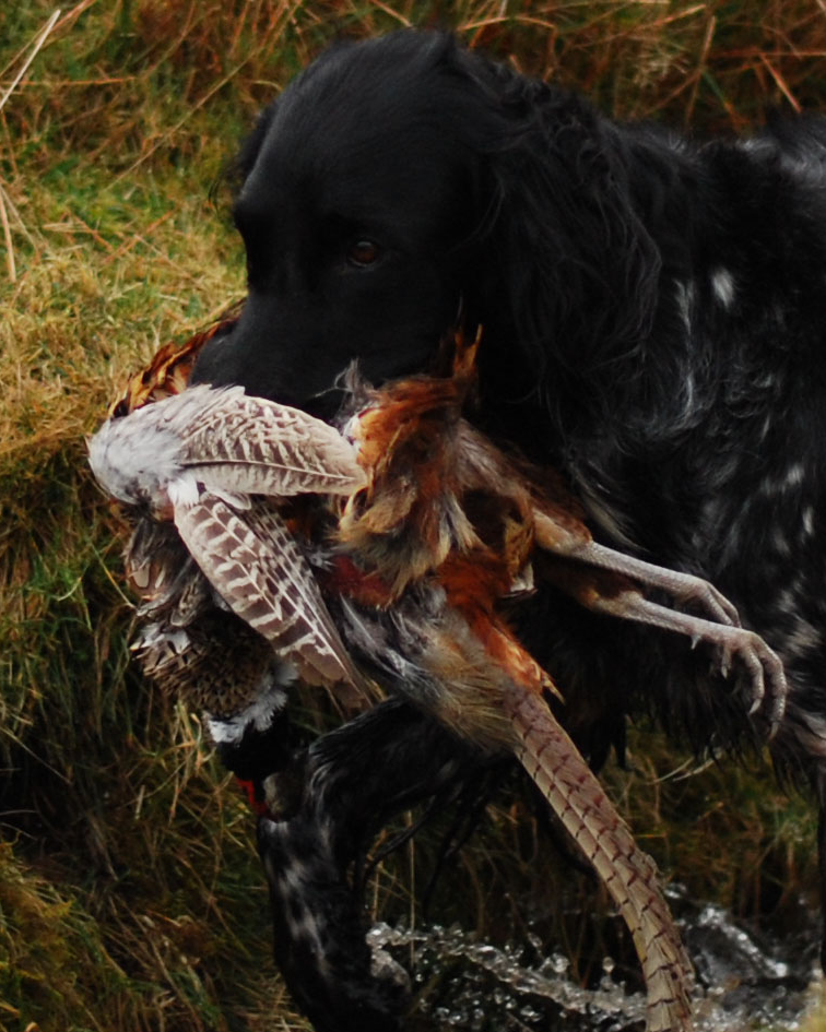 Pheasant Retrieve