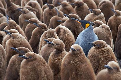Adult King Penguin (Aptenodytes patagoni