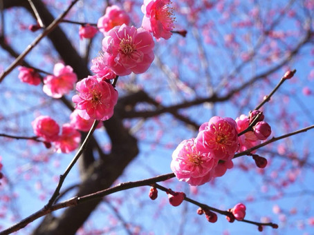 Plum tree(Japanese apricot ) season is from  end of January to March