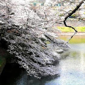 ソメイヨシノ/Someiyoshino